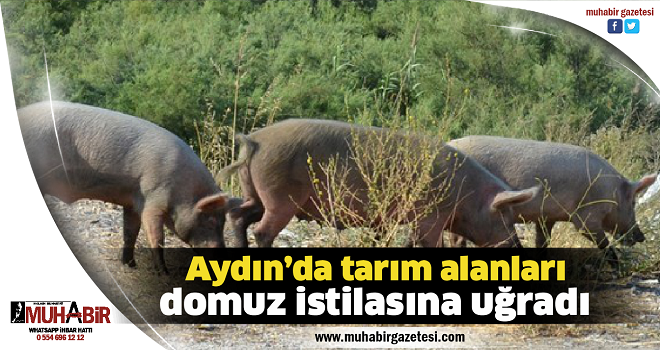 Aydın'da tarım alanları domuz istilasına uğradı