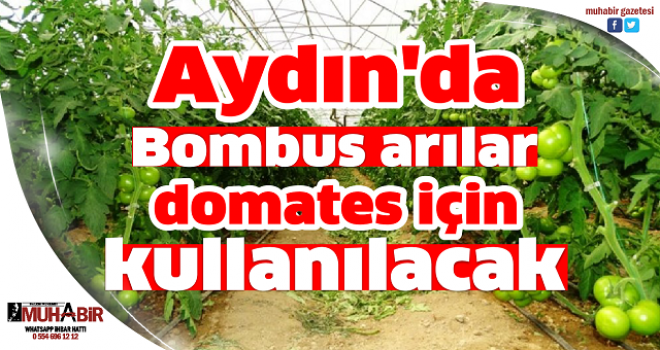 Aydın'da Bombus arılar domates için kullanılacak