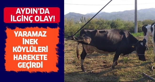 Yaramaz inek, köylüleri harekete geçirdi