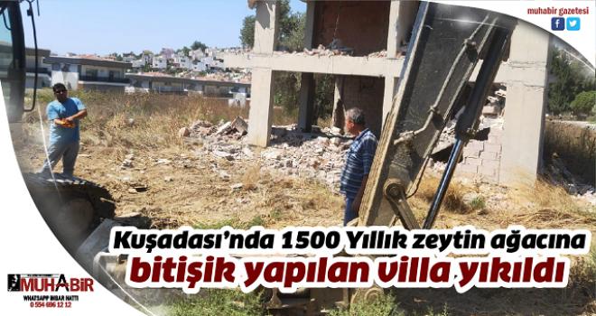 Kuşadası'nda 1500 Yıllık zeytin ağacına bitişik yapılan villa yıkıldı