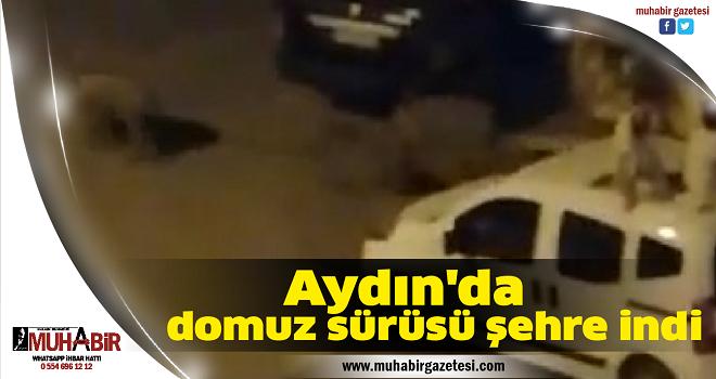 Aydın'da domuz sürüsü şehre indi