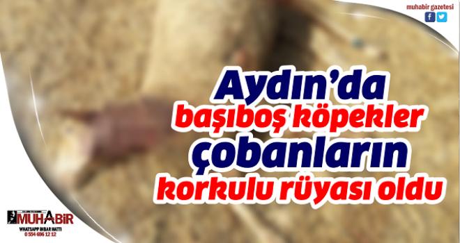 Aydın'da başıboş köpekler çobanların korkulu rüyası oldu