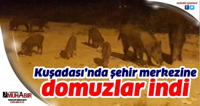 Kuşadası'nda şehir merkezine domuzlar indi