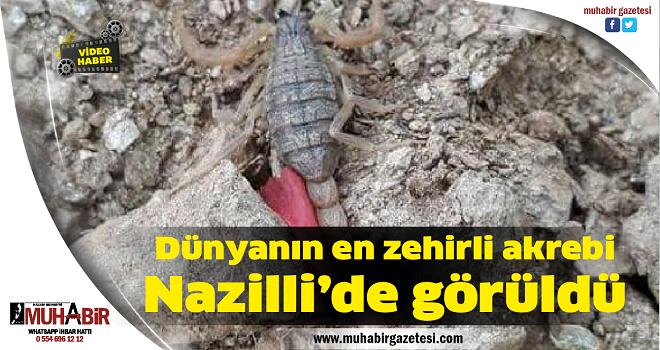 Dünyanın en zehirli akrebi Nazilli'de görüldü